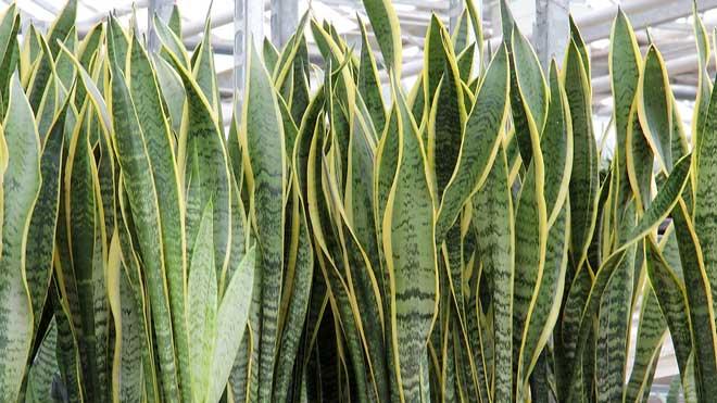 Acht Buropflanzen Die Wenig Wasser Und Licht Brauchen